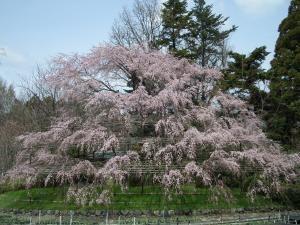 円山公園の枝垂桜のいとこ??