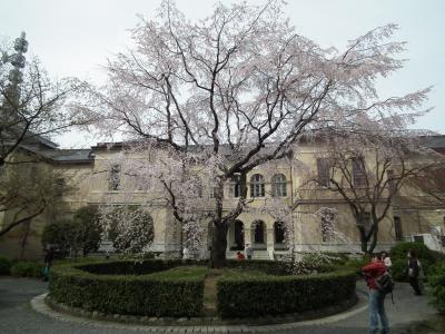 京都府庁旧本館 中庭の桜