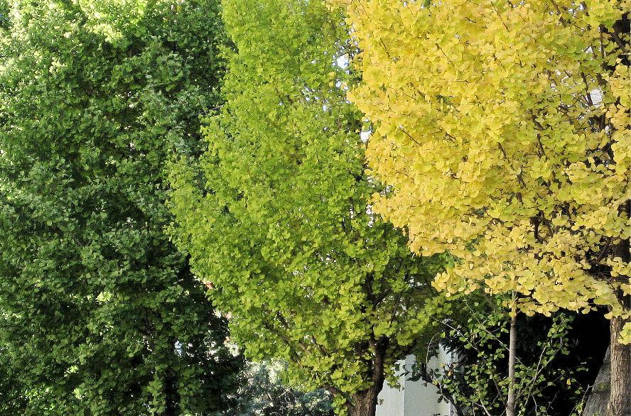 イチョウの木のグラデーション 撮影 松田光司