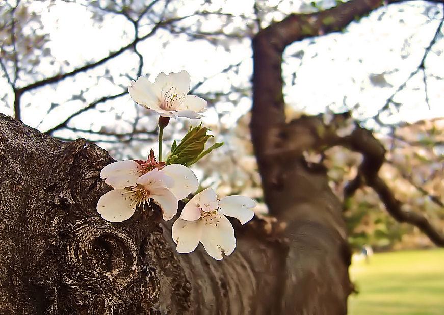 砧公園の桜 撮影 松田光司