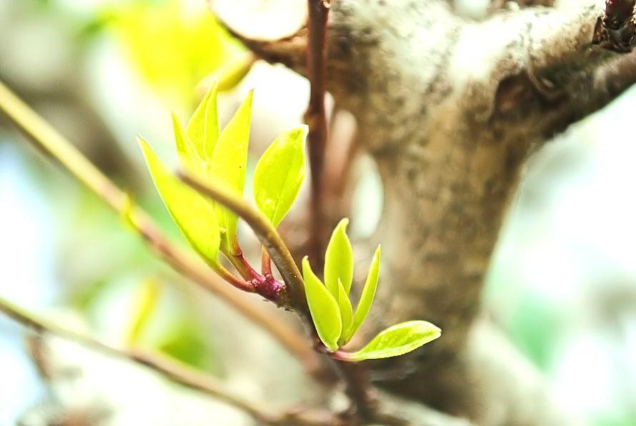 庭の木の新芽 撮影 松田光司