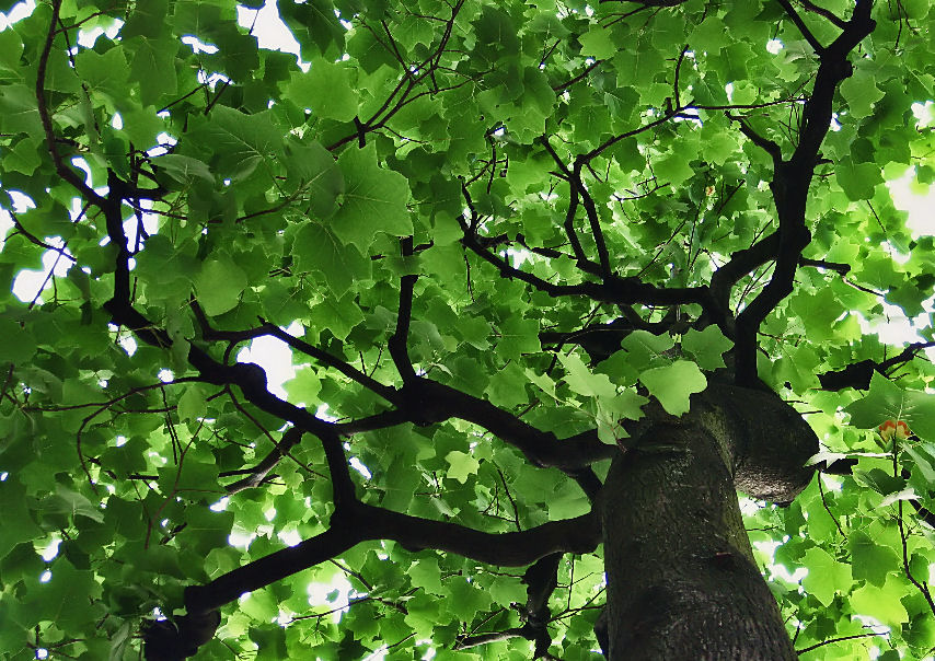 5月の街路樹 撮影 松田光司