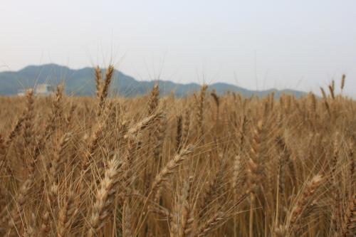 ②小麦収穫