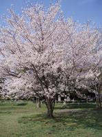 桜_2013