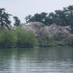 新緑と桜がキレイ