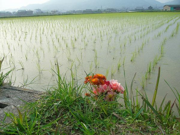 田植え後の苗代の水戸にお花