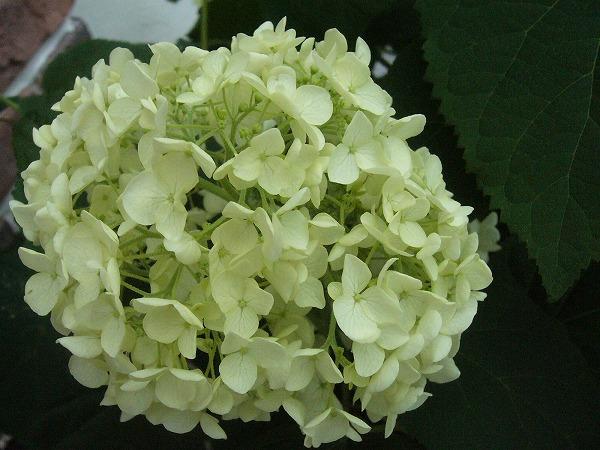 アジサイそっくりの花