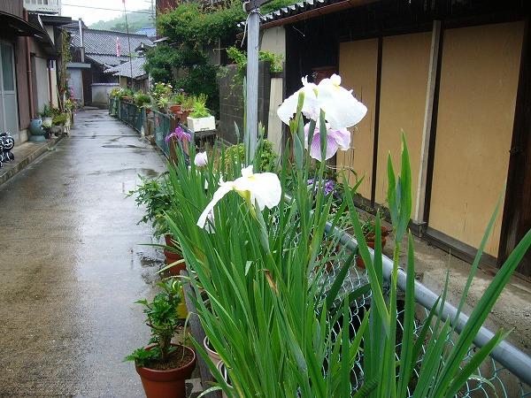 粟島の花6月