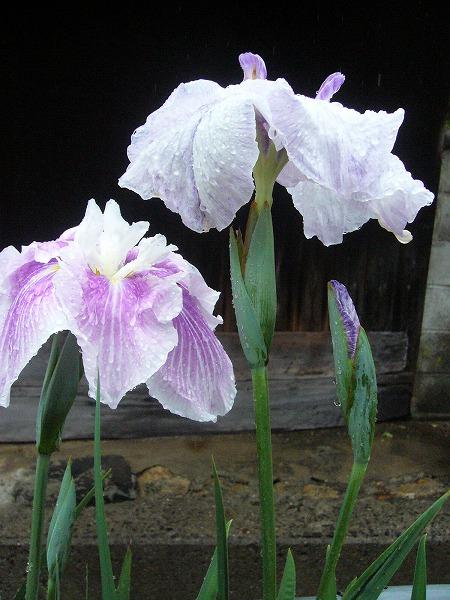花ショウブ1