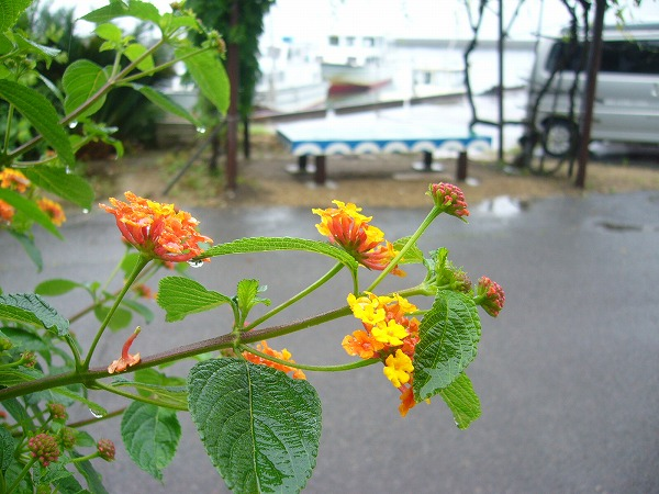 ランタナ粟島港
