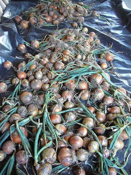 H23.6玉ねぎ収穫