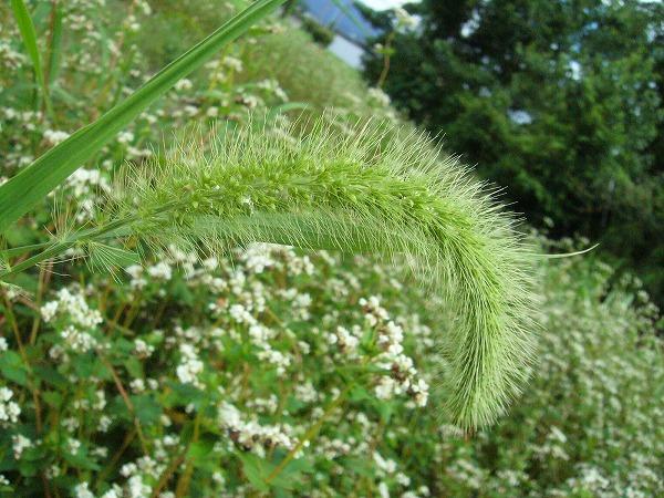 エノコロ草とソバの畑