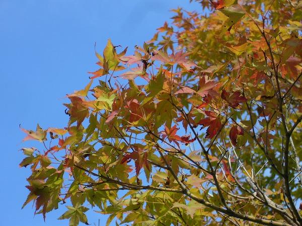 大分秋色楓