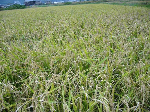 お米の田んぼ1