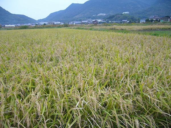 お米の田んぼ2