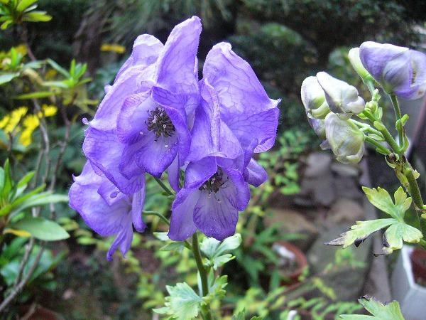 トリカブト花蕾