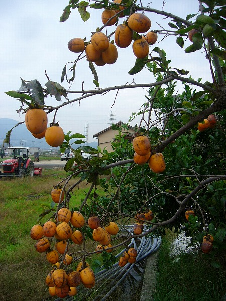 隣へ伸びている渋柿