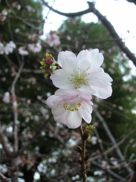 12月頑張っている桜