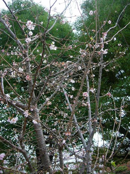 12月1日の桜