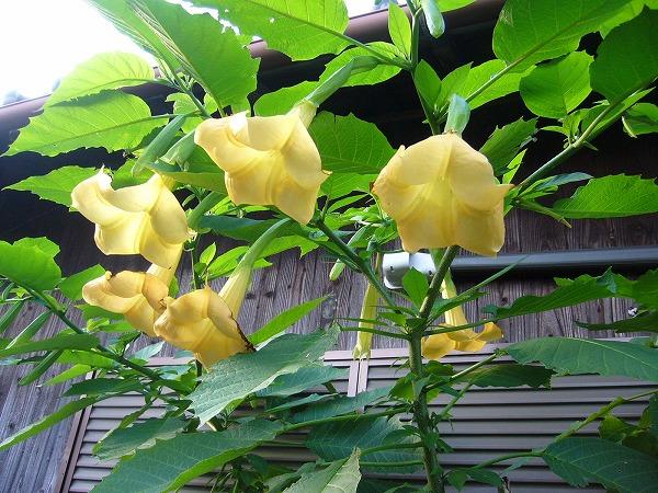 エンゼルトランペット黄