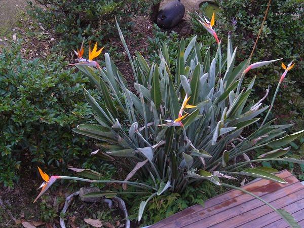 島の12月 極楽鳥花