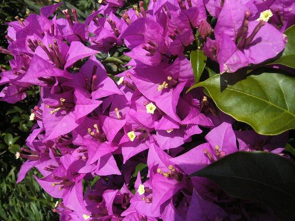 ブーゲンビリア花