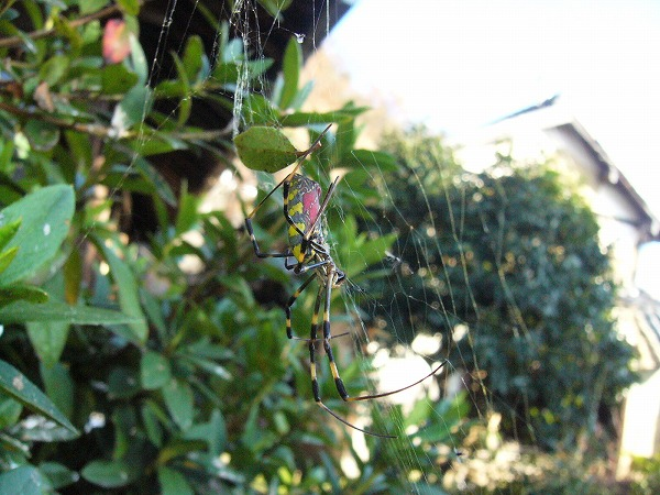蜘蛛も元気