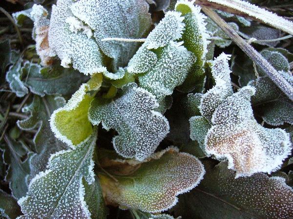 朝の霜1月8日