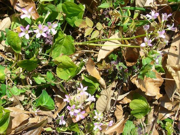 紫カタバミ粟島1月