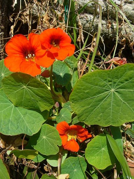 うちでは初夏の花