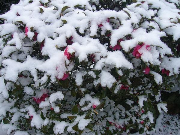 さざんかの雪