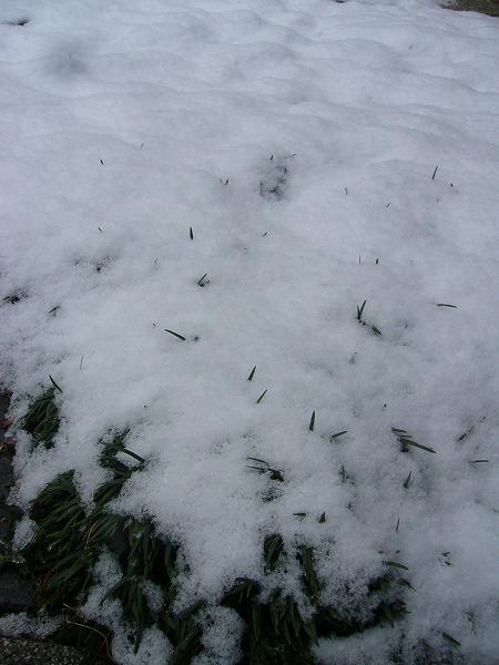 リュウノヒゲの雪