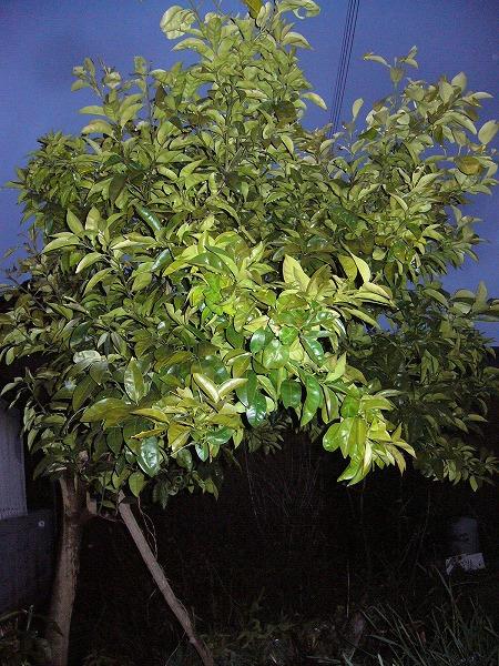 蜜柑の木縦