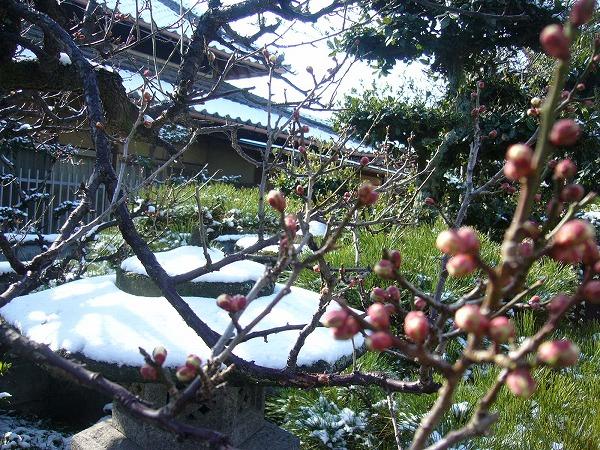白梅も雪にびっくり!