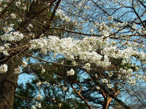 130320-201大宮公園の桜(S)