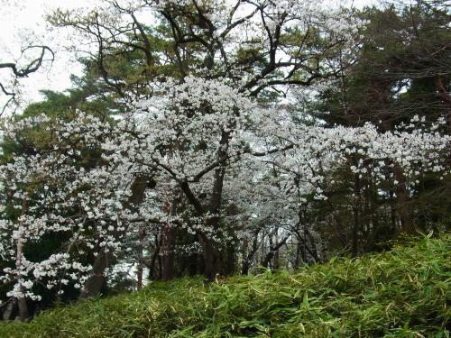 130324-202桜満開(S)
