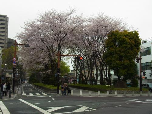 130330-201参道の桜(S)