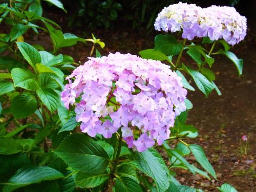 130602-201紫陽花(S)