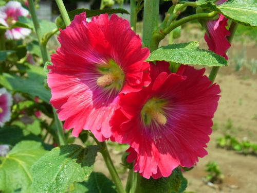 130609-202赤い花(S)
