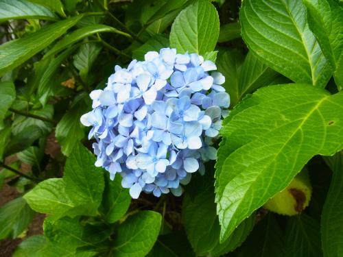 130720-202紫陽花(S)