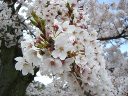 アップ桜1