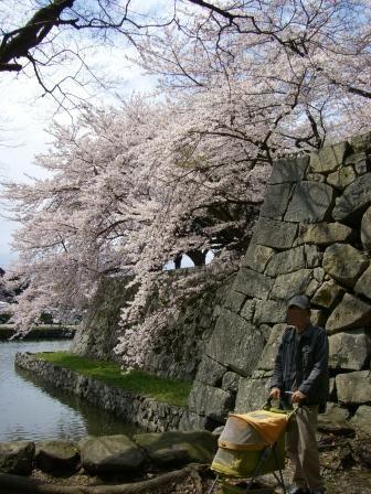 石垣の大桜3