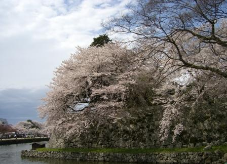 石垣の大桜2