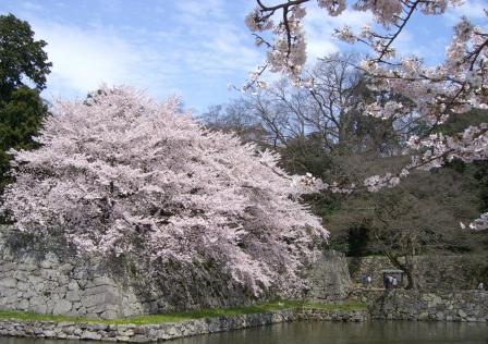 石垣の大桜1