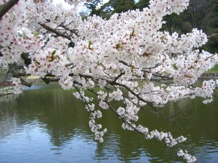 アップ桜2