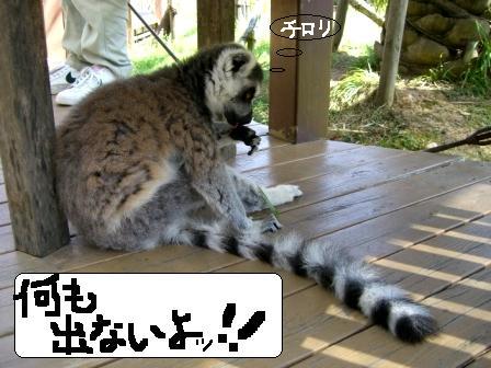 ワオキツネザル5