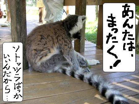 ワオキツネザル4