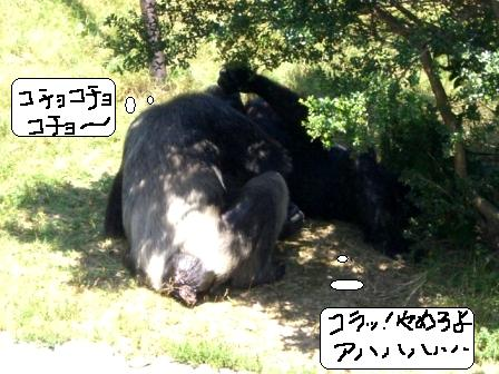 チンパンジー3