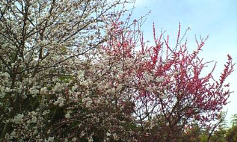 桜と紅梅2