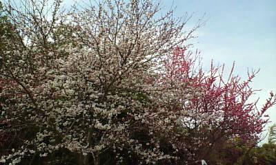 桜と紅梅1